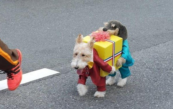 A dog dressed as two dogs carrying a present
